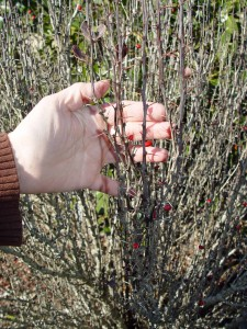 Barberry thorns are a strike against, but this shrub is beginning to get a bit too frisky.