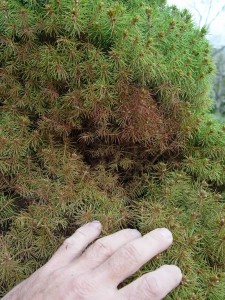 Dwarf Alberta spruce with the usual spider mite damage.
