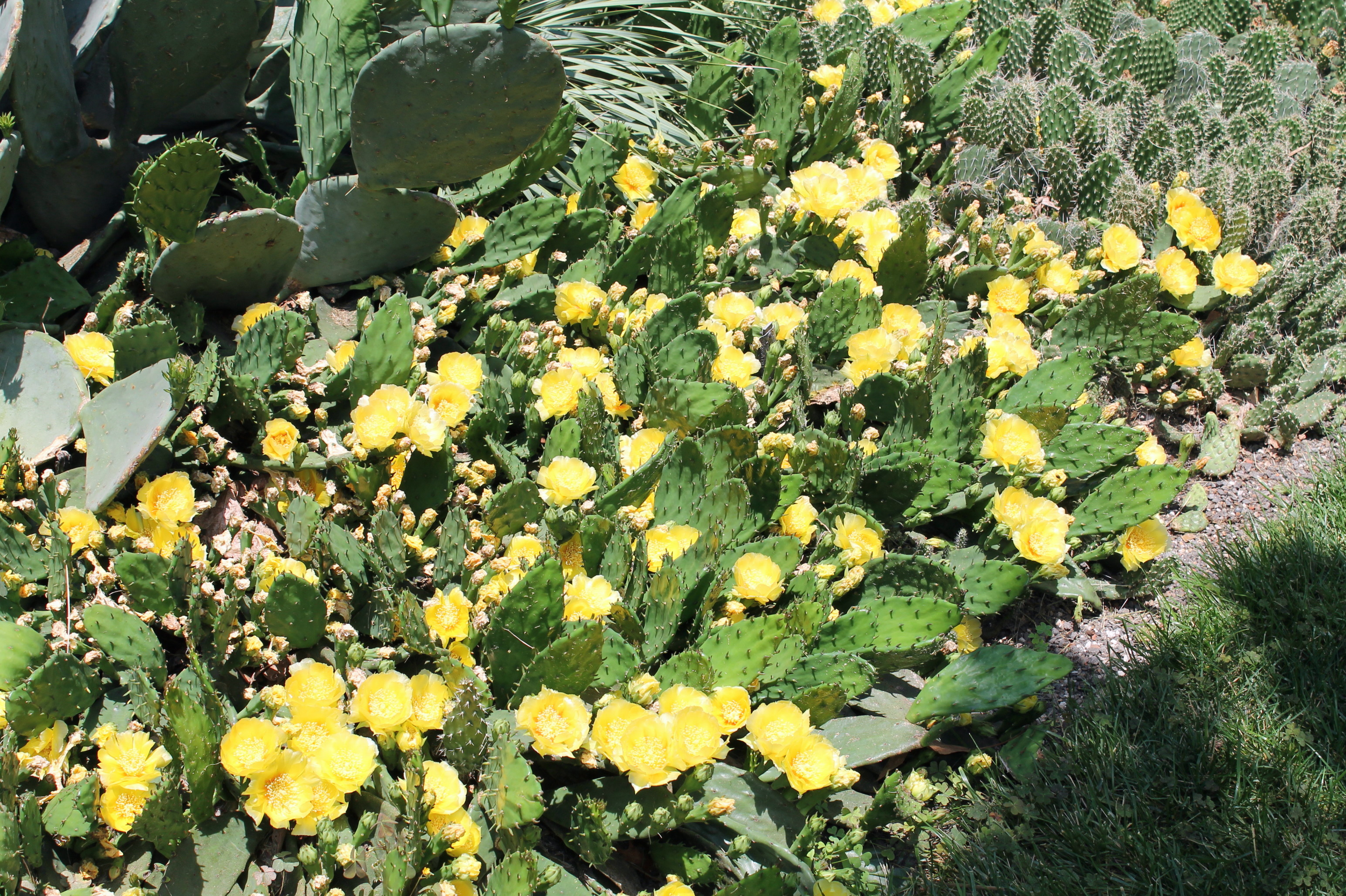 Bottom 10 perennial flowers garden housecalls prickly pear cactus native pretty in bloom but the thorns are weapons mightylinksfo