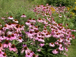 Purple coneflowers... native or not?