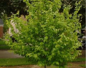 American hornbeam tree's summer foliage.