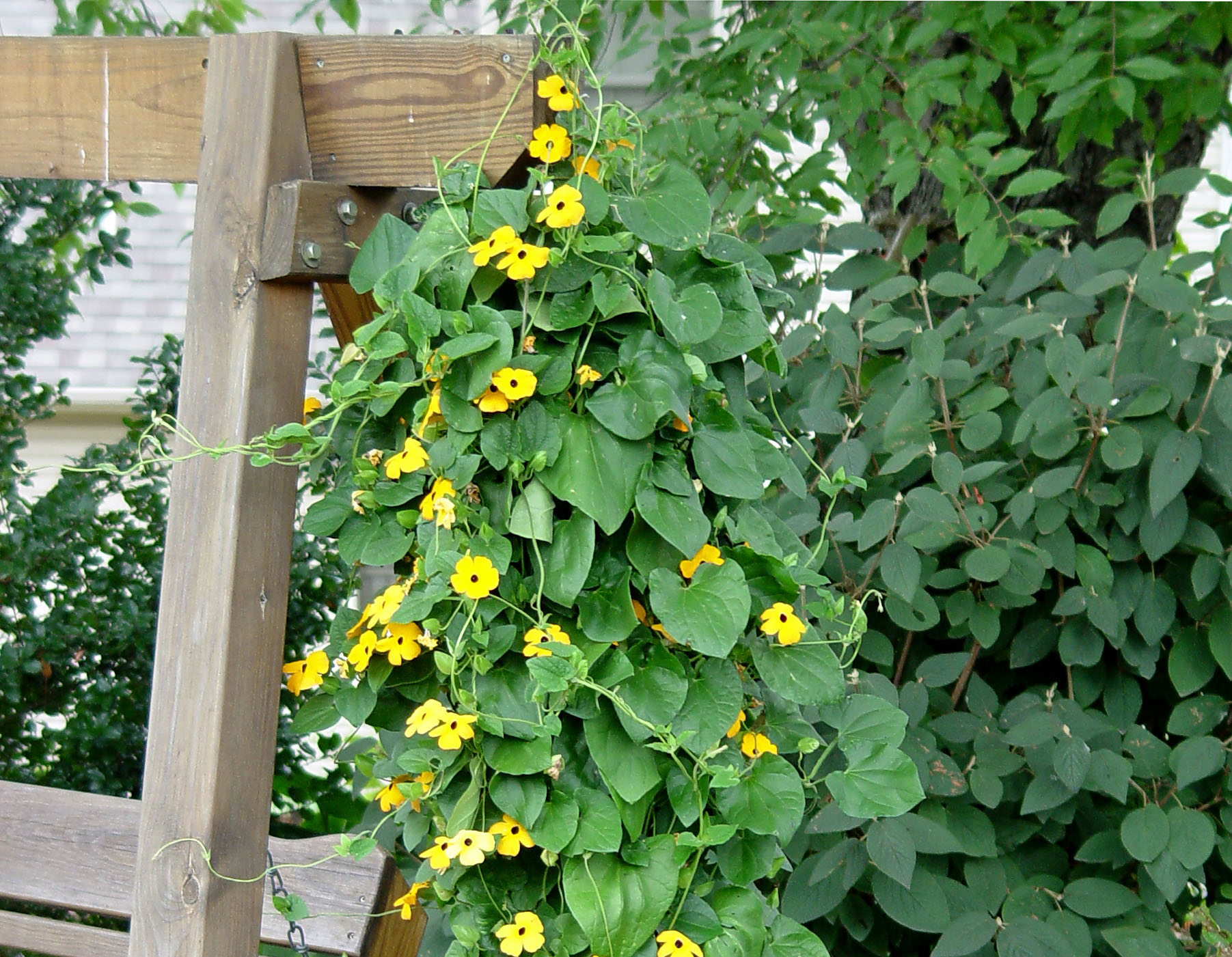 Black eyed susan vine garden housecalls Black eyed susans