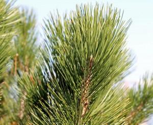 Closeup of Bosnian pine needles.