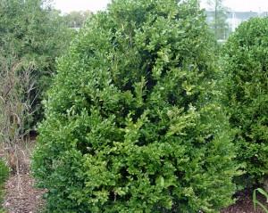 Boxwood 'Green Mountain'