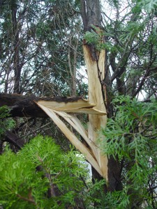 Cracked branches should be cut cleanly back to a joint, and hangers should come off ASAP.