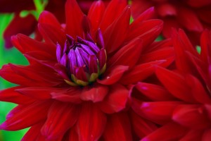 Closeup of a red dahlia flower in September.