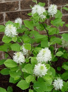 Witch alder (Fothergilla) 'Mt. Airy' in bloom.