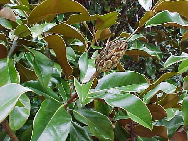 Garden Housecalls Magnolia Brackens Brown Beauty