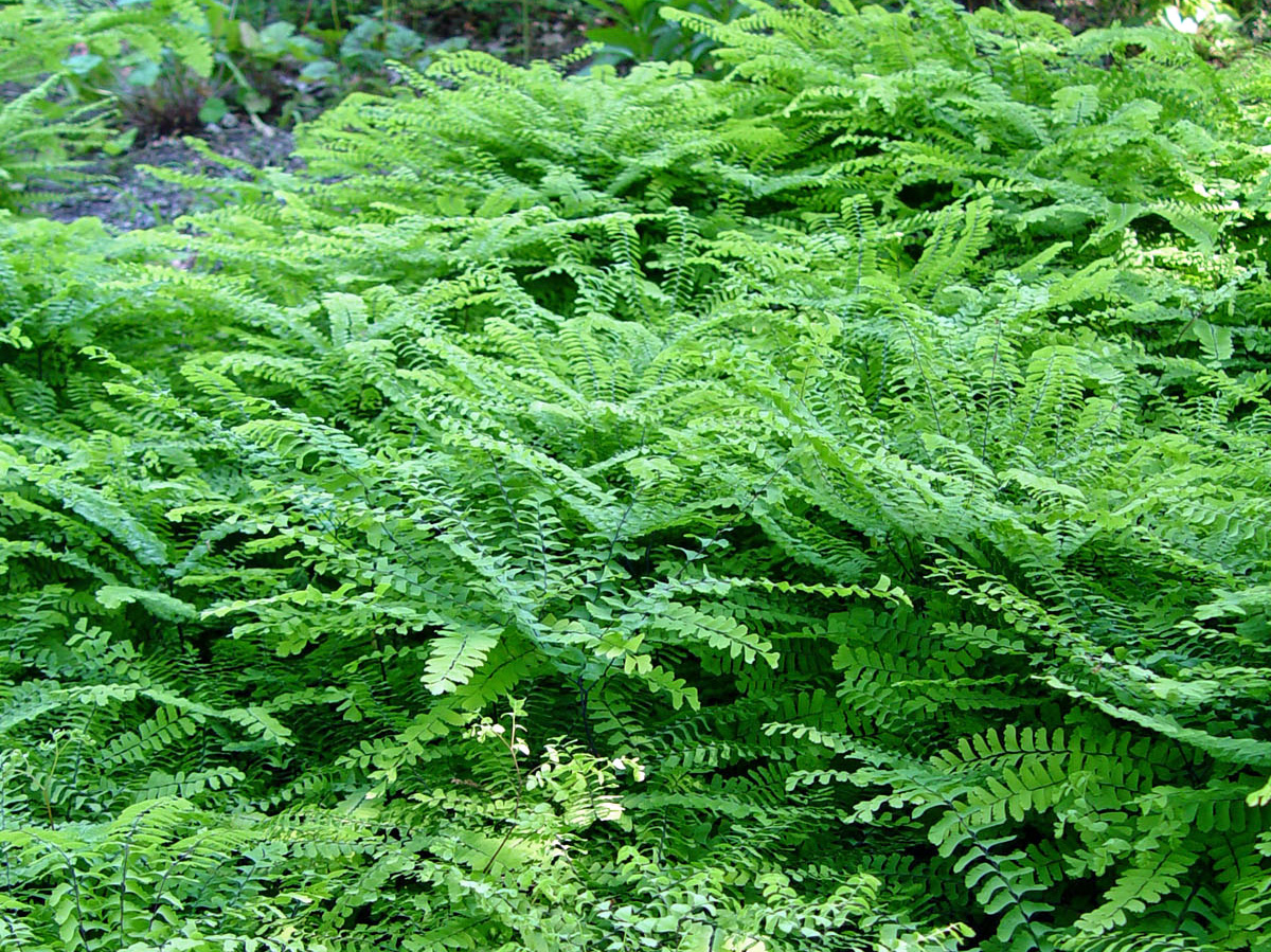 how to keep ferns over the winter