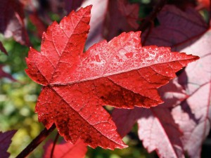 Maple Redpointe leaf in fall. J. Frank Schmidt and Son Co.