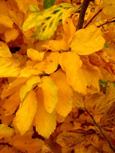 Persian parrotia's fall foliage.