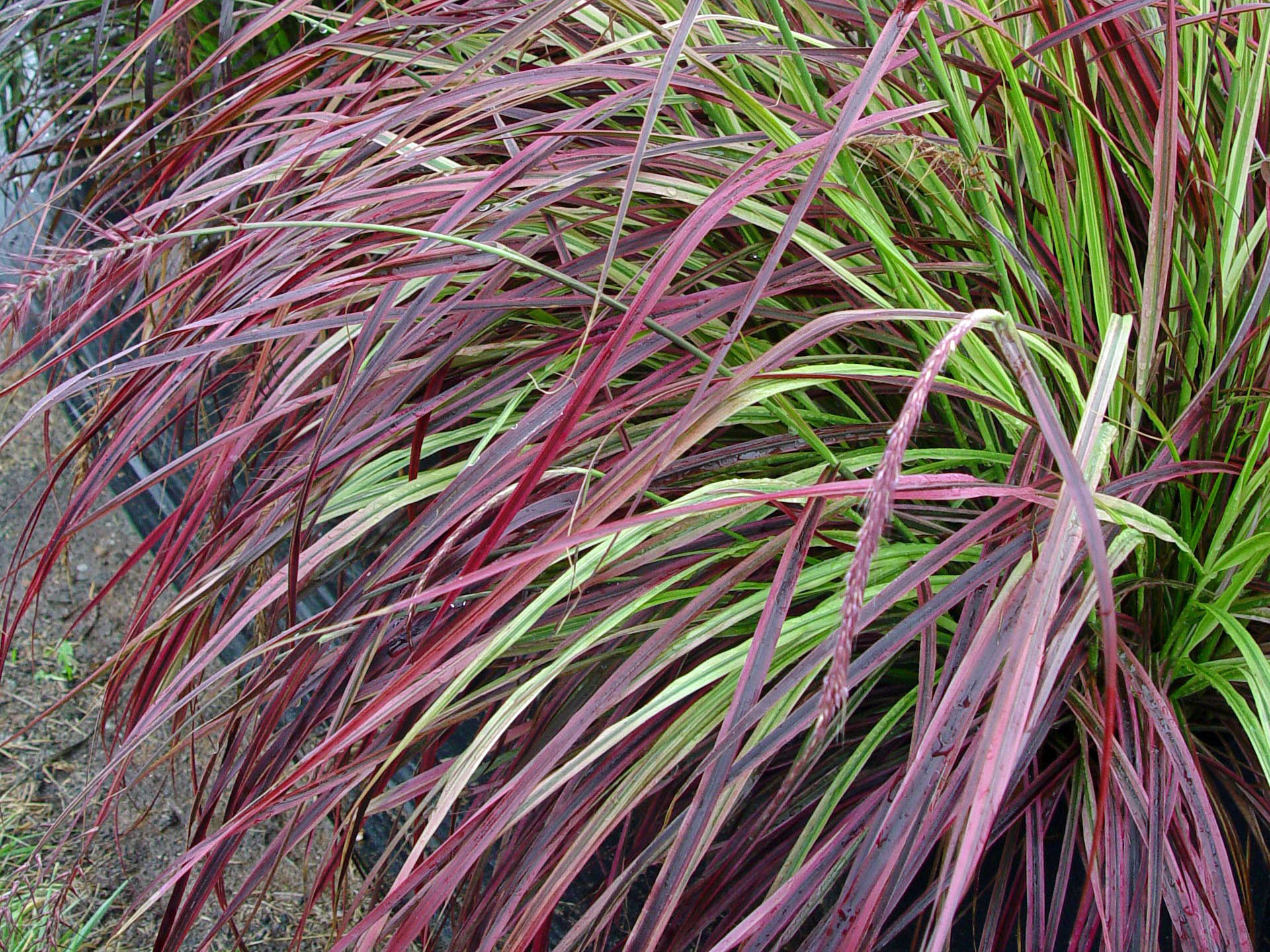Fountain grass 39 fireworks 39 garden housecalls for Hardy tall ornamental grasses