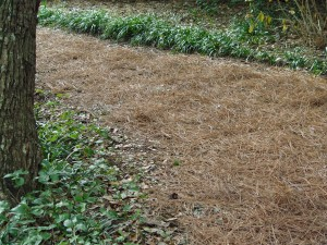 Pine needles as mulch.
