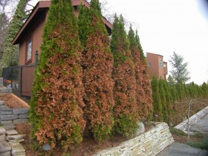 Arborvitae with browned needles on the road side from salty slush plow-throws.