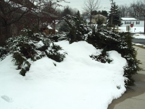 Plants such as these junipers often get flattened by plowed snow along roads and sidewalks.