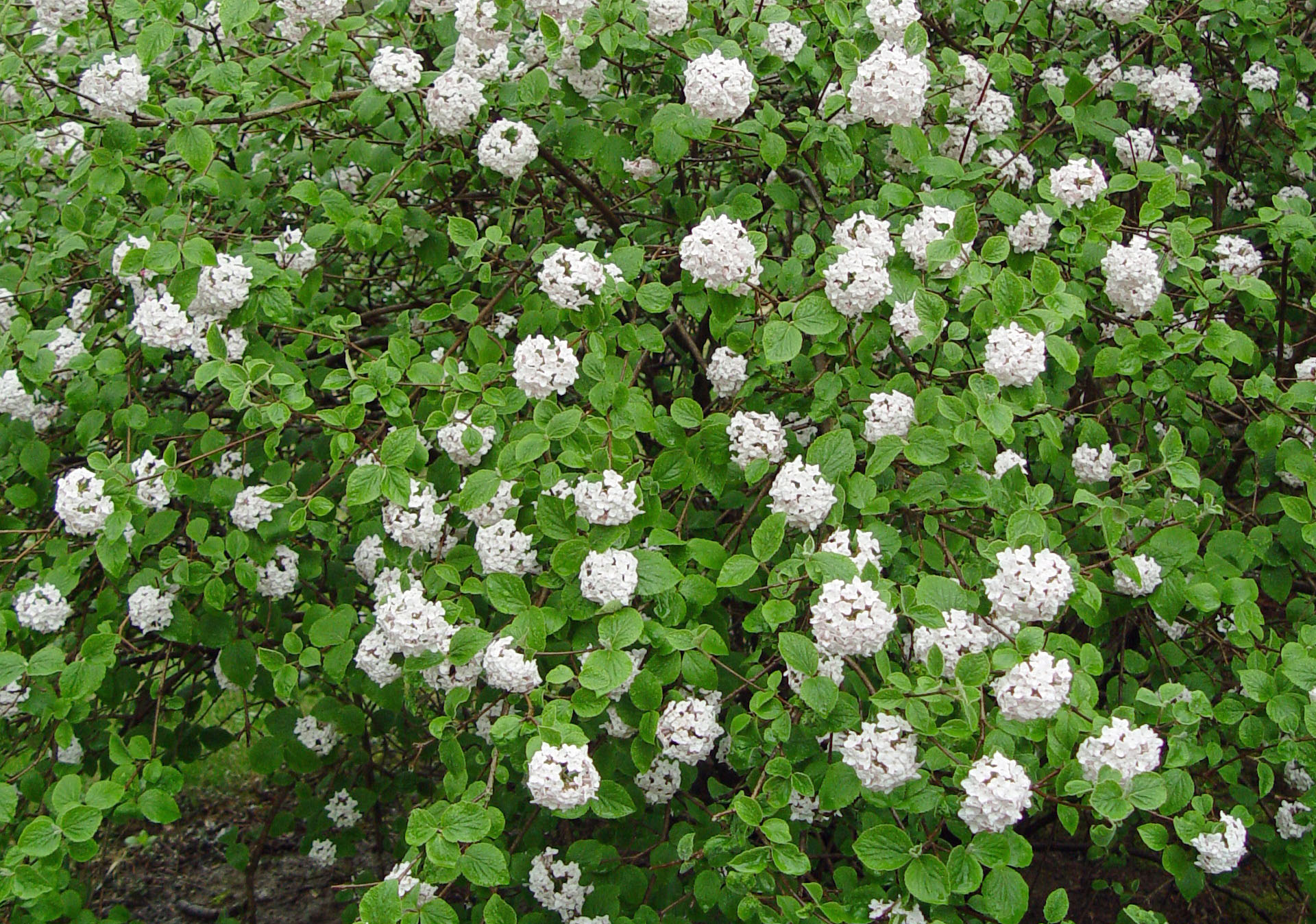 korean spice viburnum - Korean Garden