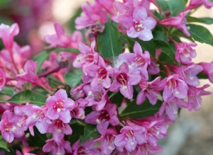 Weigela Sonic Bloom 'Pink.' Proven Winners