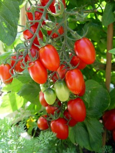 Despite the diseases and animal threats, I can't imagine a summer without tomatoes.
