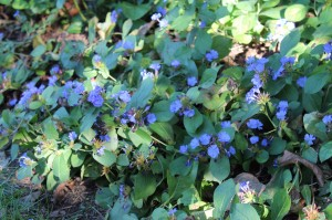 Leadwort blooming blue in September.