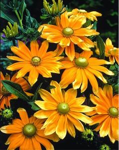 Gloriosa daisy 'Prairie Sun.'