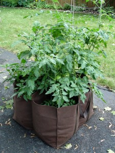Tomatoes happily growing in a fiber grow bag.
