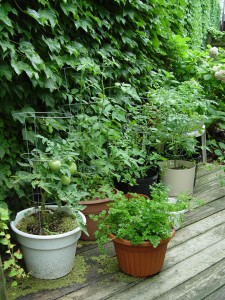 "A vegetable ""garden"" in pots."