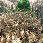 Landscape plants suffered worst beating in 25 years