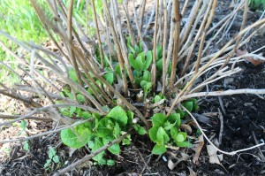 This hydrangea has died back nearly to the ground, but it's still alive. Note the new growth pushing out from the base.