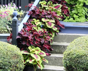 Coleus pots turn these steps into a containerscape.