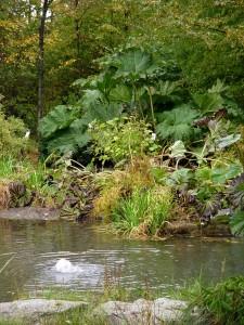 Gunnera growing at Stonecrop Gardens.