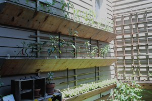 Peppers and basil growing in boxes on a wall.