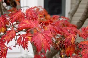 The fall foliage of full moon maple 'Aconitifolium.'