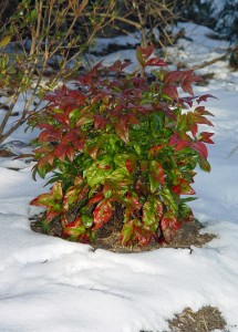 Some plants, like this 'Firepower' dwarf nandina, look pretty good in most winters.