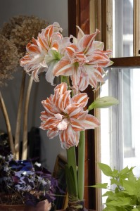 Amaryllis is one holiday plant you can keep going for years. This one is a double one called 'Dancing Queen' from Colorblends. (Credit: Colorblends Inc.)