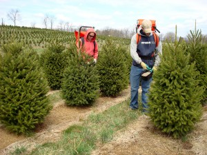 Rod and Tyler Wert fertilize a stand of young Christmas trees at their Blue Ridge Christmas Tree Farm in Lebanon County.