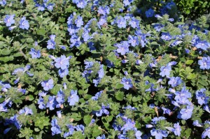 Evolvulus is a true-blue annual flower that fits into 2015's trends.