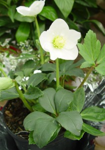 The Christmas rose is actually a type of hellebore that can be planted outside as a perennial.