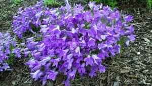 Campanula 'Catharina.' Credit: David Wilson/Garden Splendor Plants
