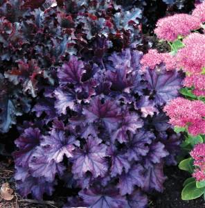 Coralbells 'Forever Purple.' Courtesy of Terra Nova Nurseries.