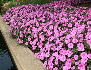 The new impatiens Bounce Pink Flame. Credit: All-America Selections