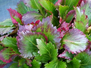 Here's the world's first Mukgenia -- a cross of Mukdenia and Bergenia. Courtesy Terra Nova Nurseries