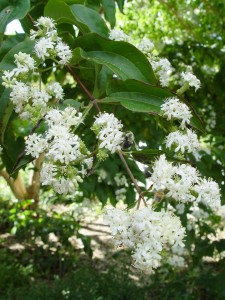 Early-fall white flowers of seven-son flower.