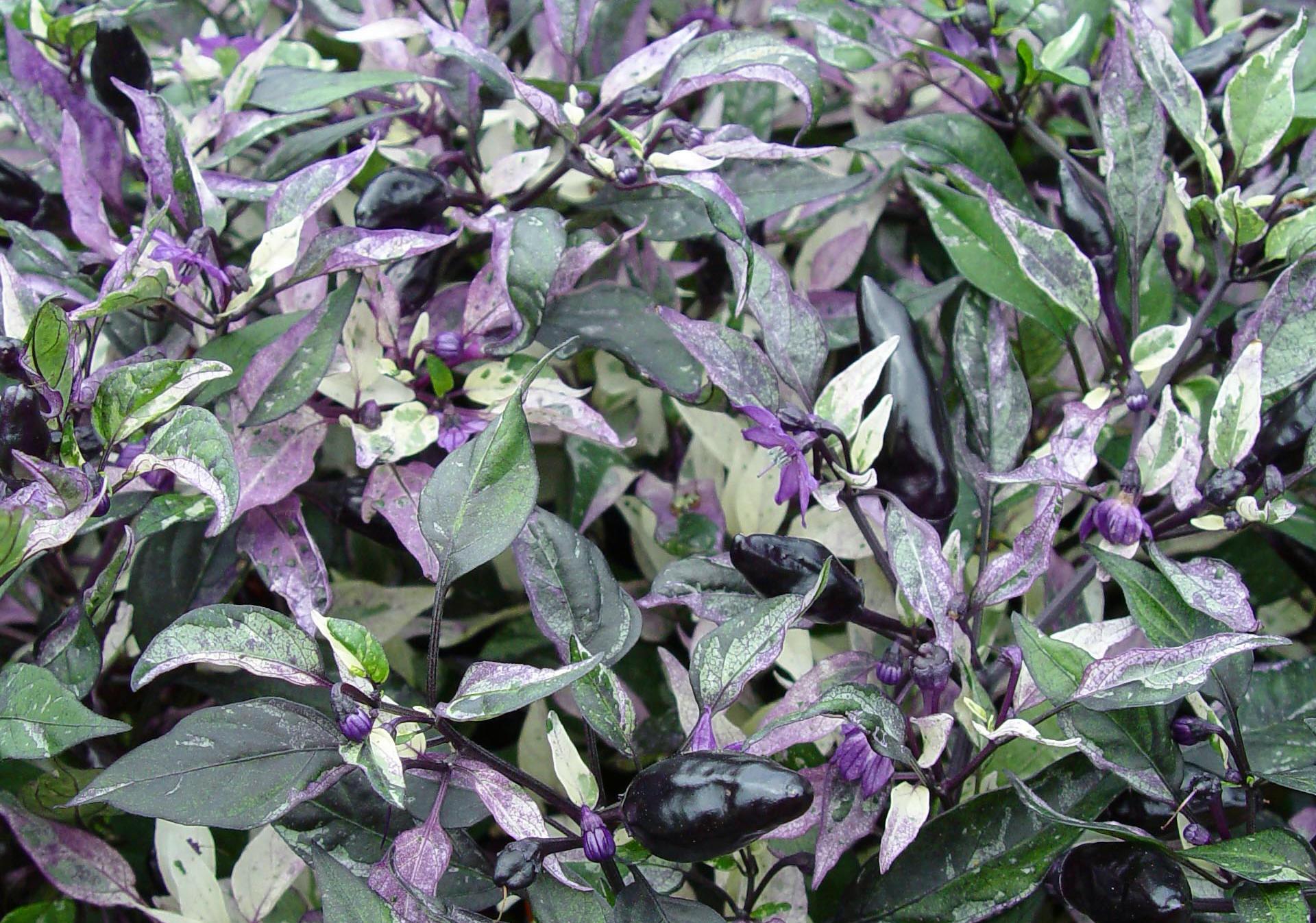 ornamental pepper  u0026 39 calico u0026 39