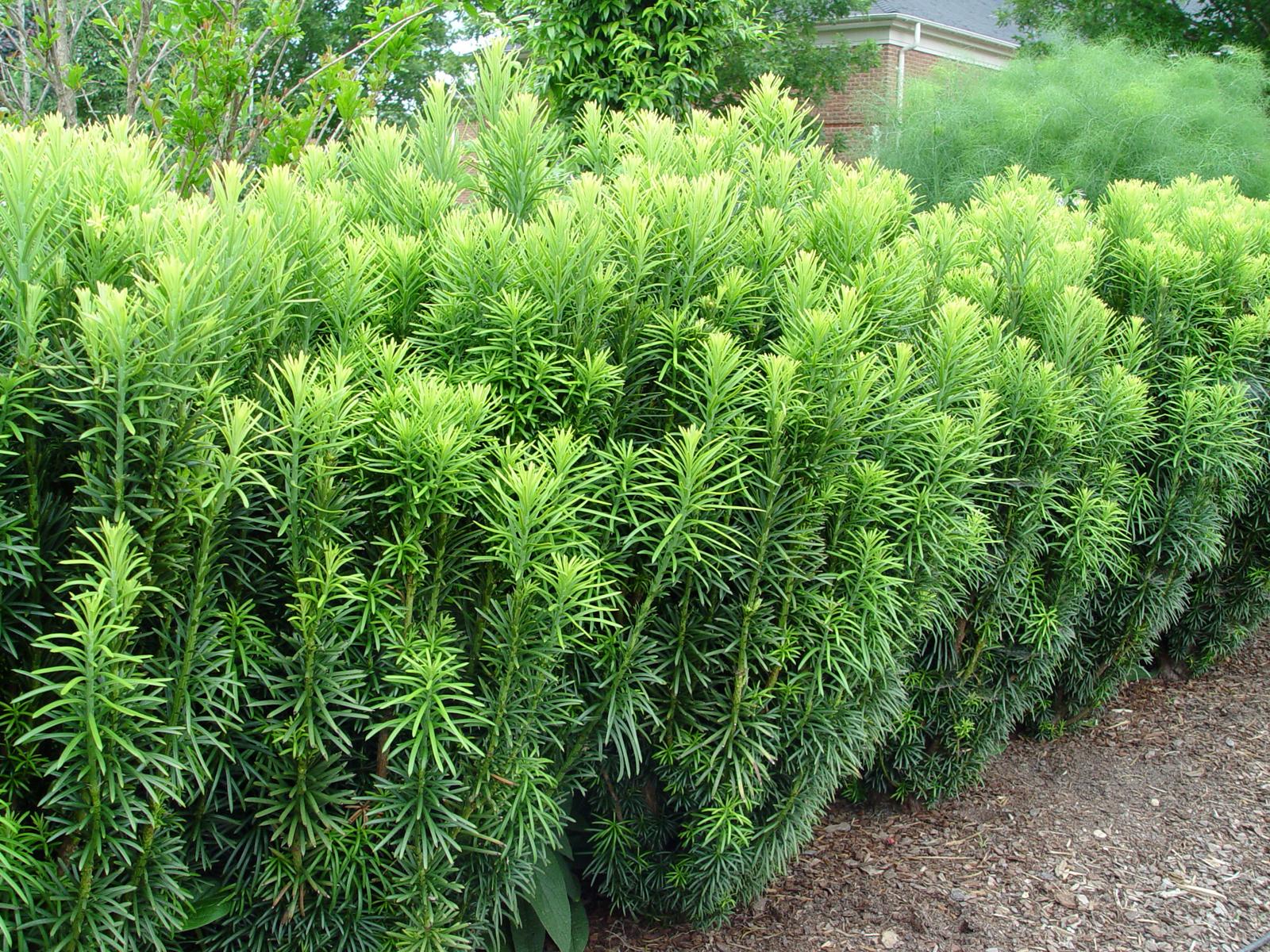Japanese Plum Yew Fastigiata Garden Housecalls