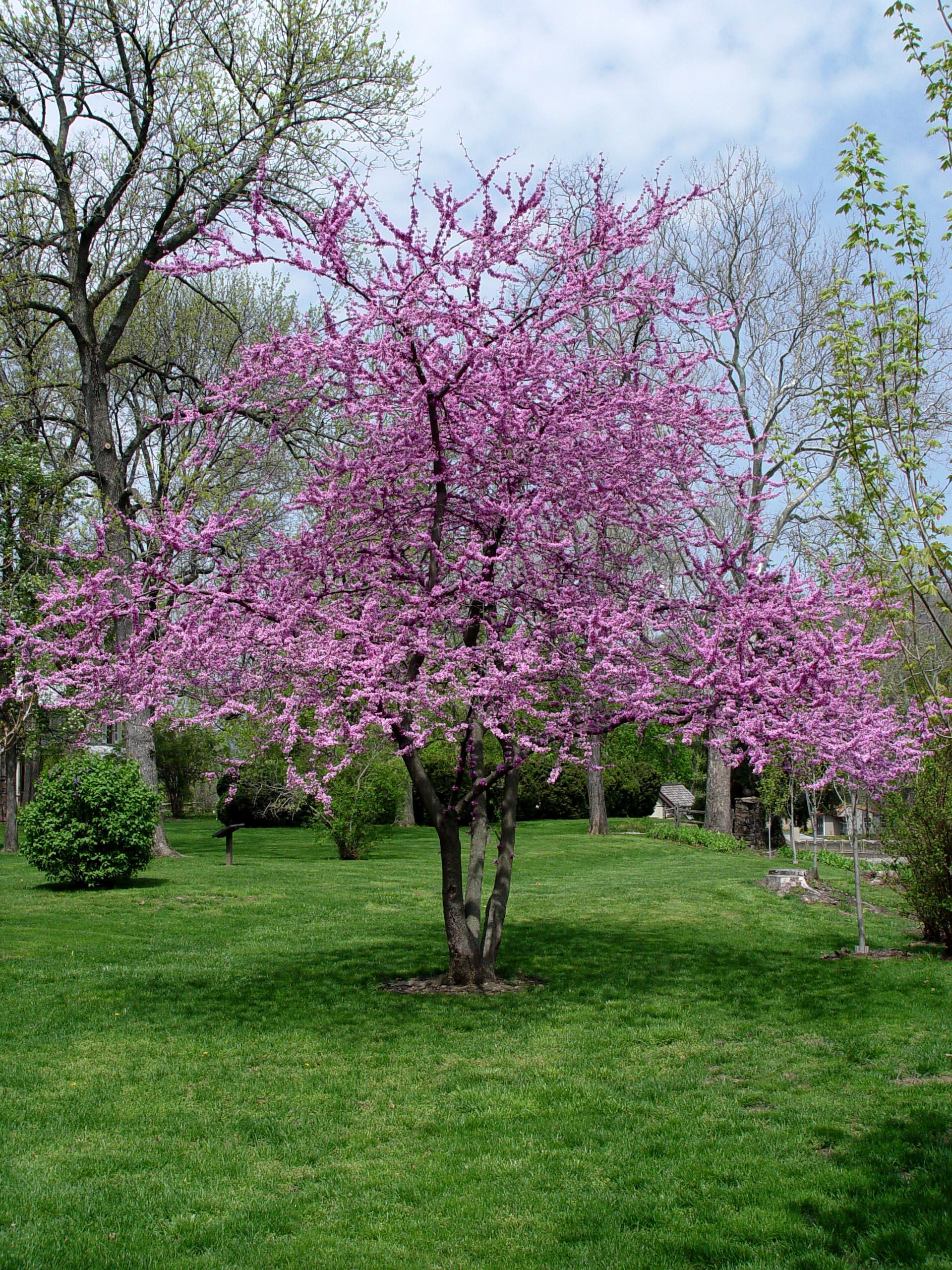 garden housecalls   redbud