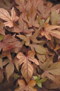 Sweet potato vine 'Sweet Caroline Bronze'