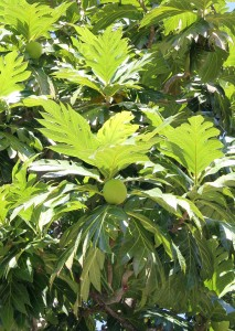The breadfruit tree produces potato-like fruits.
