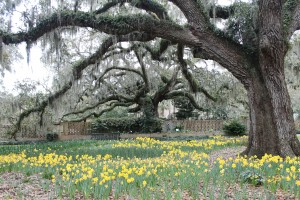 The daffodils are in full bloom under this live oak tree at Brookgreen Gardens in South Carolina.