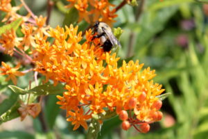 A bee is hard at work pollinating this butterfly milkweed.