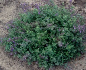 Dwarf catmint 'Kit Cat.'